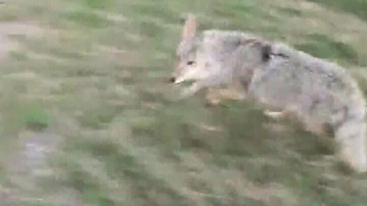 More Calgarians have coyote concerns