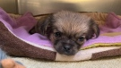 Gilbert, a nine-week-old puppy, is recovering at the Ottawa Humane Society after being thrown out a car window last week. (Ottawa Humane Society)