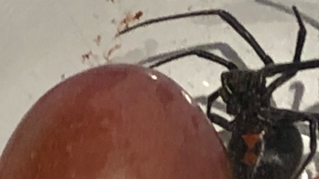 Bracebridge, Ont., family say they found a black widow in their groceries (Supplied)
