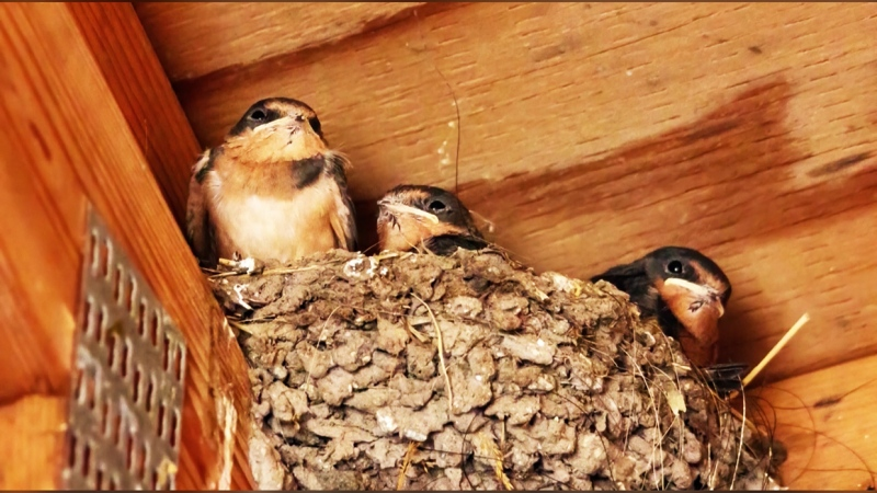 The concept is simple; the more barn swallows and bats that can find safe and peaceful shelter, the more mosquitoes they will eat, effectively decreasing the blood sucking bug's population in the area.
