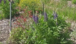 Linda Hachez and her fellow gardeners in the community of Coniston are trying to attract more butterflies and bees to their David Suzuki Pollinator Garden. (Photo from video)