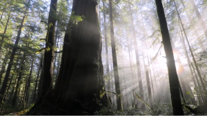 Old-growth forests near Port Renfrew are pictured: (Ancient Forest Alliance / TJ Watts)
