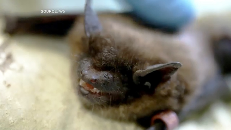 A new project launched in Lethbridge aims to reduce mosquitoes using its natural predators, including bats