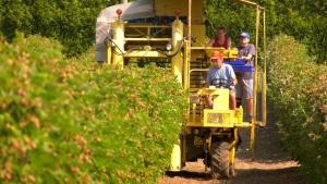 Extreme heat damaged Fraser Valley crops