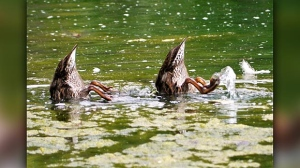 Synchronized dabblers in the St. Vital Park. Photo by Sharon Baker.