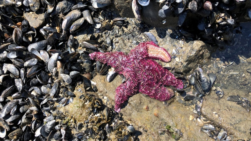 Researchers believe more than one billion intertidal animals may have died during B.C.'s record-breaking heat wave in June 2021. (Chris Harley)