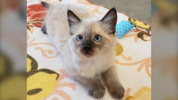 Lytton kitten