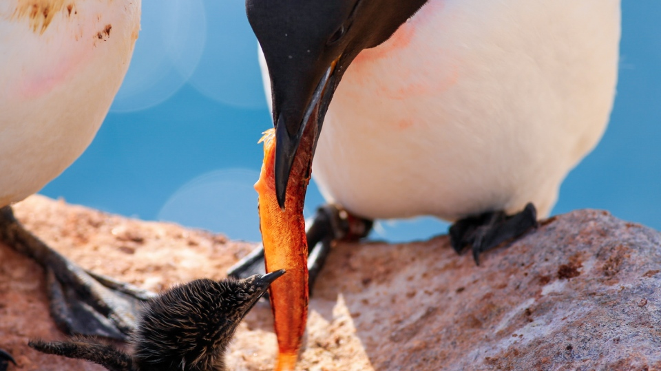 thick-billed murre feeding