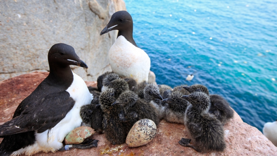 Murres watching over chicks