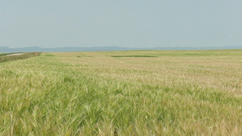 A field north of Fort Macleod, Alta. with crops turning white due to heat stress.