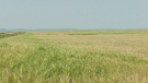 A field north of Fort Macleod, Alta. with crops turning white due to heat stress. (File photo)