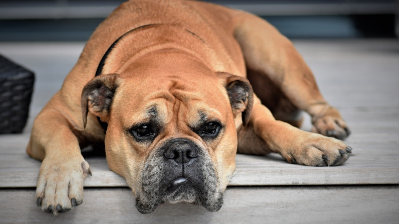 A Continental Bulldog is seen relaxing on a porch in this undated file photo. (Pixabay)