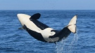 Orca calf L125, who was born in February 2021, is pictured: (Fisheries and Oceans Canada / Twitter)