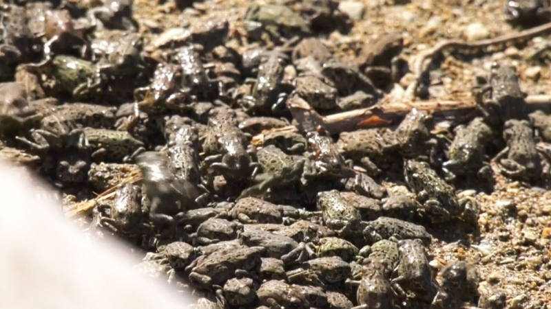 Thousands of tiny toads on the move