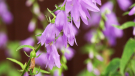 """Horticulturalist John Ostrowdun says the plant's pretty appearance may trick some into believe it is harmless, """"People give it to their friends, because it's a beautiful perennial, which is why it spreads as fast as it does. And once you get it, it's quite hard to get rid of."""""""