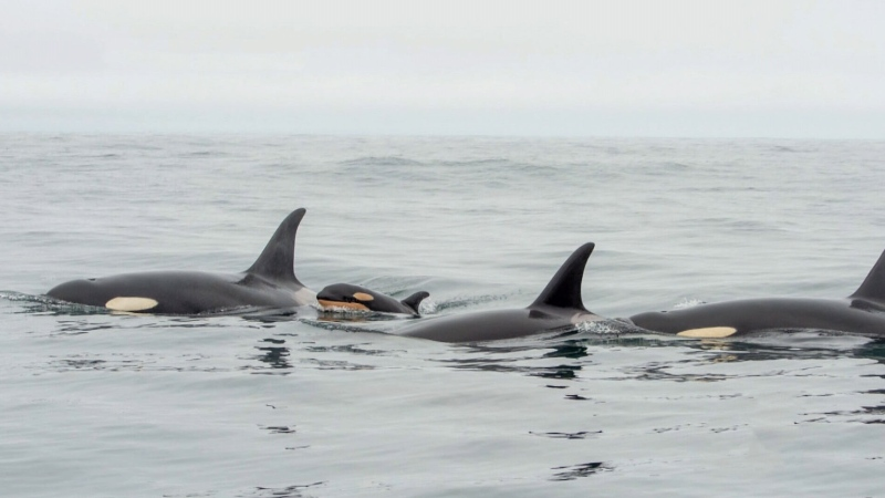 Orcas noticeably absent from Salish Sea