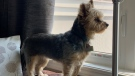 Macy, a six-year-old Yorkie, is seen in this undated photograph.