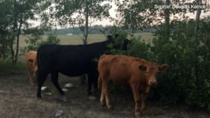 Drought forcing Manitoba farmers to sell off herds