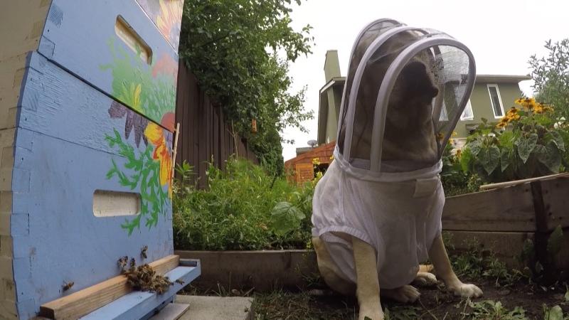 Beekeeper dog
