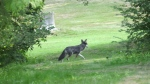 Another coyote attack in Stanley Park