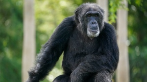 A chimpanzee looks out of his enclosure as visitors trickle into Zoo Miami, Tuesday, Sept. 15, 2020, in Miami. (AP Photo/Wilfredo Lee)