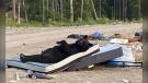 Black bear laying on a mattress at a dump in northern Ontario. July 8/21 (Credit: Keira Mamakwa)