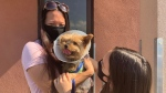 Dorothy Kwan, her daughter Lily are reunited with their dog Macy that has been released from the hospital after being injured in a coyote attack earlier this week in Scarborough. (CP24/Beatrice Vaisman)