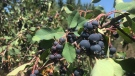The Coronado Saskatoon U-Pick farm located in Gibbons, Alta., is full of berries and the unusual weather may be a factor.