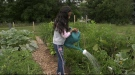 A community garden is in the west end of Guelph gets watered by one of its users. (Jessica Smith/CTV Kitchener) (July 24, 2021)