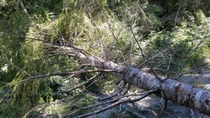 Police accused protesters of cutting down 18 living trees and laying them across the logging road leading into the watershed. (BC RCMP)