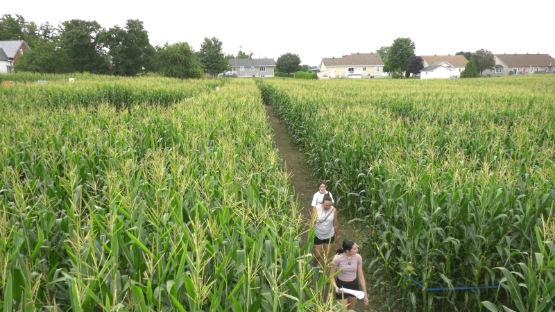 People challenge the massive corn maze at Ouimet Farms Adventure in Vankleek Hill, Ont. (Shaun Vardon / CTV News Ottawa)