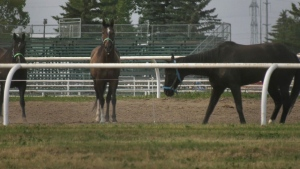 Wagons at Westerner says a chuckwagon horse needed to be euthanized after it was injured during a race on Saturday evening.