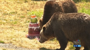 Grouse Mountain bears celebrate 20th birthday