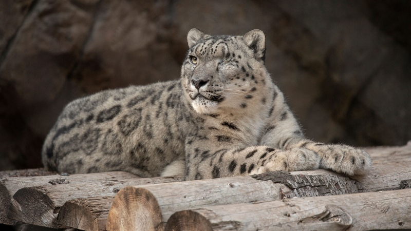 A male snow leopard at the San Diego Zoo tested positive for SARS-CoV-2 after showing symptoms of a cough and nasal discharge. (Tammy Spratt/San Diego Zoo Wildlife Alliance/AP)
