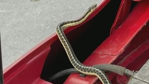 snake on car