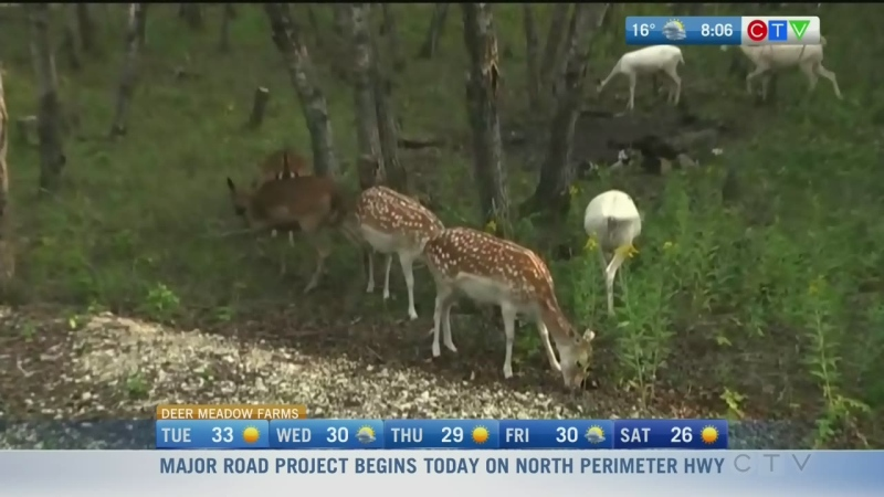 Learn about a rescued herd of Fallow Deer