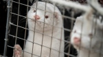 In this photo dated Friday Nov. 6, 2020, mink look out from a pen on a farm near Naestved, Denmark. (Mads Claus Rasmussen/Ritzau Scanpix via AP)
