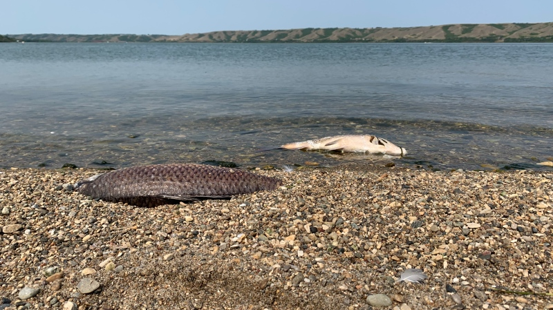 Dead carp around Echo Lake have been washing up on shore over the last few days from low oxygen in the water, caused by warm conditions. (Andrew Benson/CTV News)