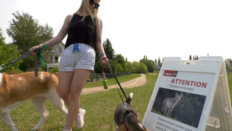 Dog walker Rebecca Atkinson has had several encounters with coyotes that she says were too close for comfort