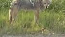 Calgary coyote concerns growing
