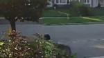 Toronto neighbourhood rattled after coyote attacks