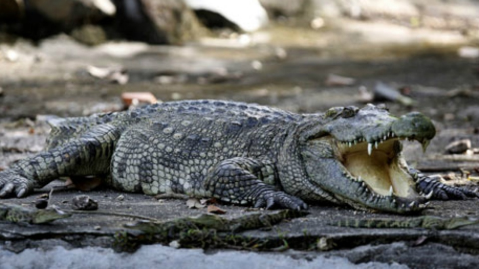 A mixed breed of a Siamese and salt water crocodile is seen at Phnom Tamao Wildlife Rescue Center in Phnom Tamao village, Takoe province, about 45 kilometres south of Phnom Penh, Cambodia on Tuesday, Nov. 17, 2009. (AP / Heng Sinith)