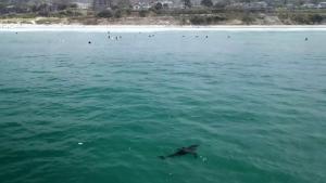 Drone footage shows baby sharks swim near surfers