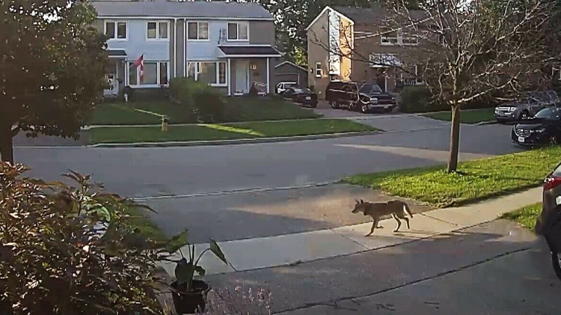 Coyote approaches woman while gardening in T.O.