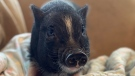 Within a week, Eunice the pig was placed in a new home. (SPCA)
