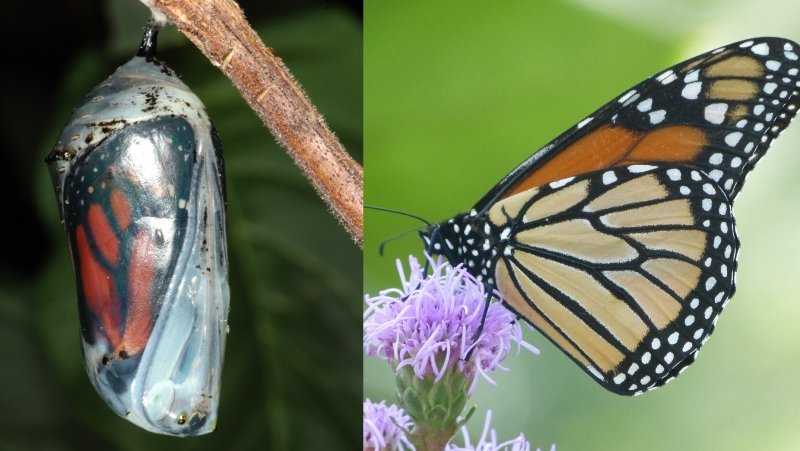 With every year, fewer and fewer monarchs are returning north in the spring, as their journey home has grown increasingly treacherous. (Photos courtesy André Sarrazin and Laurent Desaulniers/Insectarium de Montréal)