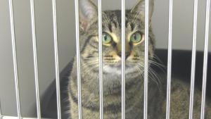 A cat at the Alberta Animal Rescue Crew Society. Tuesday July 27, 2021 (CTV News Edmonton)