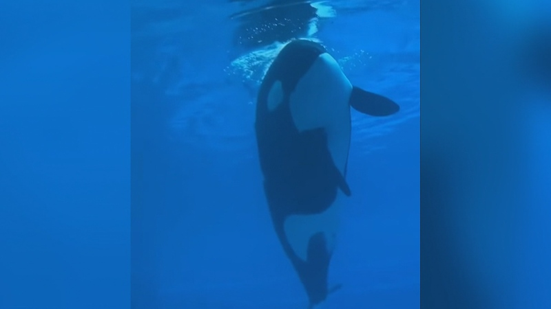 The video, shared on social media by former Marineland employee and whistleblower Phil Demers, shows the orca moving slowly at the surface of the water and faintly moaning. (Phil Demers/Twitter)