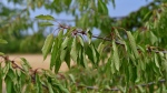A cherry tree with its leaves curled after a lack of rain. (Shutterstock)