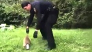 Raccoon with tin stuck on head finally rescued